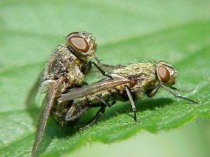 双翅目花蝇科