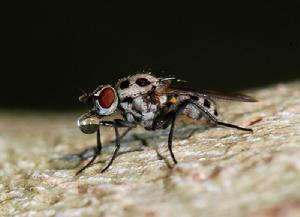 双翅目黄潜蝇科