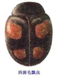 四斑毛瓢虫