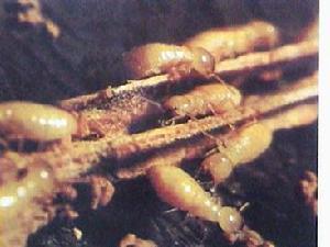 台湾乳白蚁
