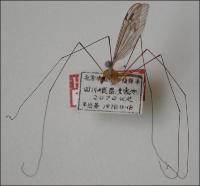 黄头蜚大蚊