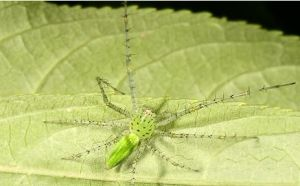 台湾绿猫蛛