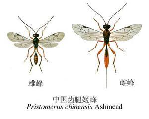 中国齿腿姬蜂