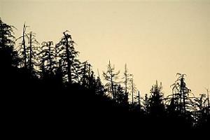 (图)甲蟲將使加拿大無法達成減碳目標