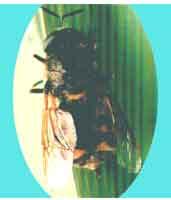 周斑水虻成虫(图1)