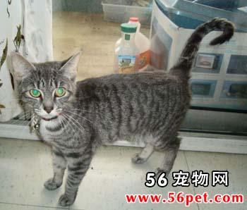 埃及猫-短毛猫品种