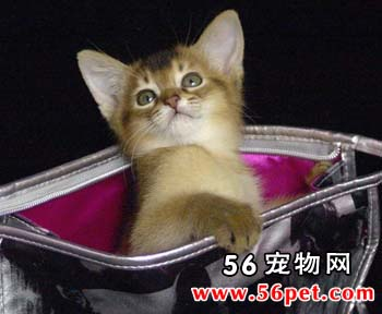 阿比西尼亚短毛猫-短毛猫品种