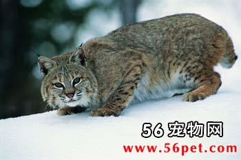 野猫-短毛猫品种