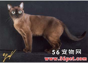 康沃耳帝王猫-短毛猫品种