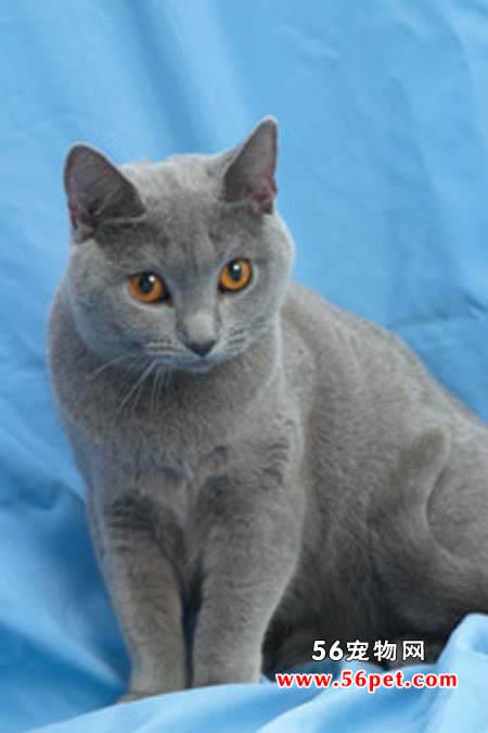 欧洲重点色短毛猫-短毛猫品种
