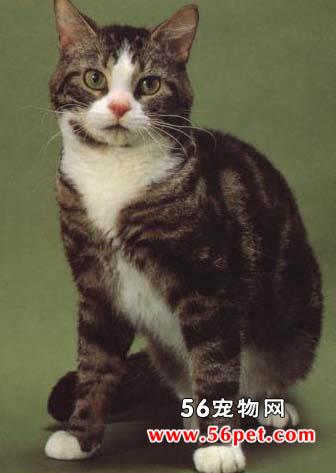 美国硬毛猫-短毛猫品种