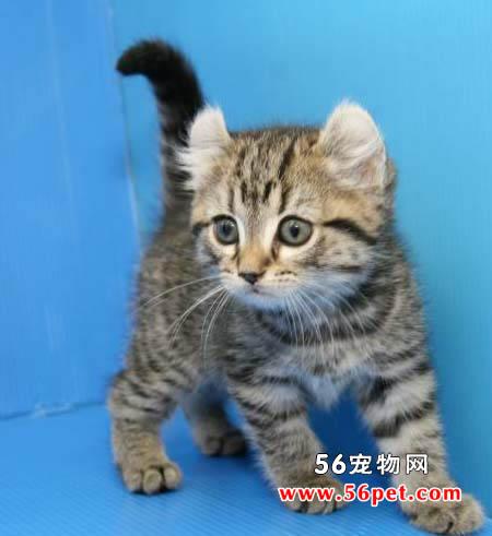卷耳猫 (美国)-短毛猫品种