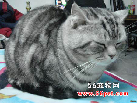 短毛猫-短毛猫品种