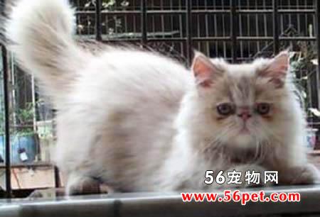 雪鞋猫-短毛猫品种