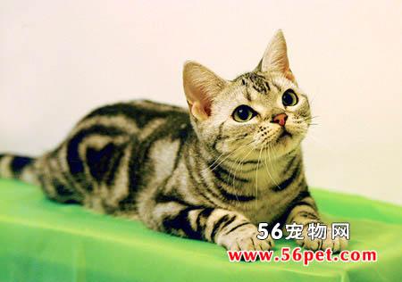 苏格兰折耳猫-短毛猫品种