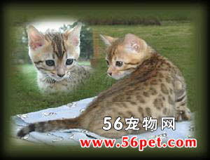 孟加拉猫-短毛猫品种
