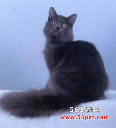 内华达猫-长毛猫品种
