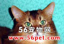 索马里猫-长毛猫品种