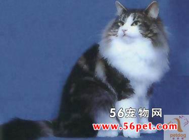 挪威森林猫-长毛猫品种