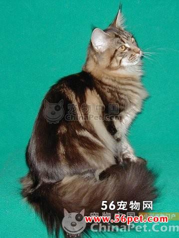 缅因库恩猫-长毛猫品种