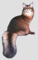 阿比西尼亚野猫