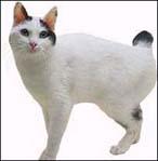 日本短毛猫