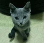 俄罗斯短毛猫