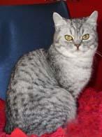 欧洲短毛猫