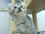 美国-卷耳猫