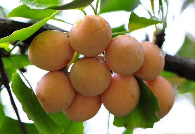 银杏,又叫做白果