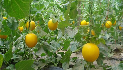 香瓜也有很多不同的品种
