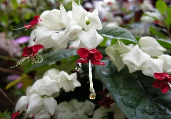龙吐珠花图片