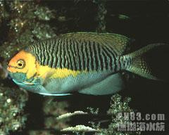 半纹月蝶鱼
