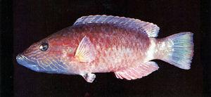 单带尖唇鱼