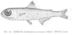 光彩标灯鱼