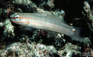 华丽钝虾虎鱼