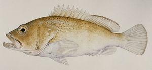 南海石斑鱼