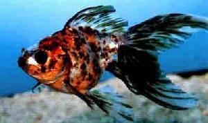 中国五花文鱼