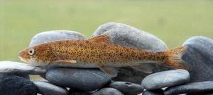 中甸叶须鱼