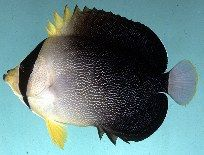 中白荷包鱼