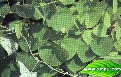藤本类植物