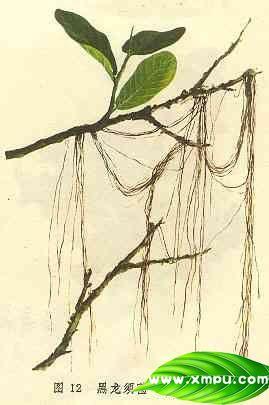 黑龙须菌(树头发)