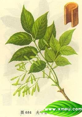 大叶白蜡树