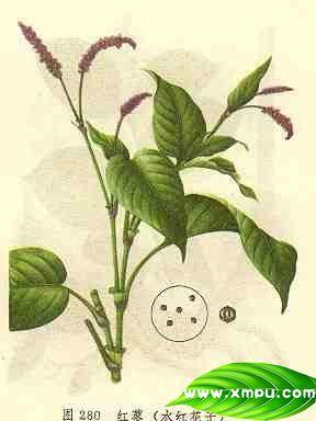 红蓼(水红花子)
