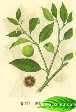 酸橙(枳实、枳壳)