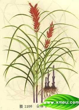 山稗子(山红稗)